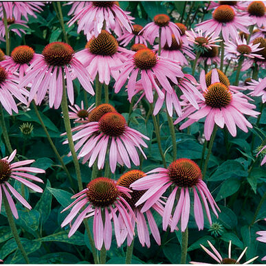 Echinacea Purpurea Seed Johnny Selected Seeds