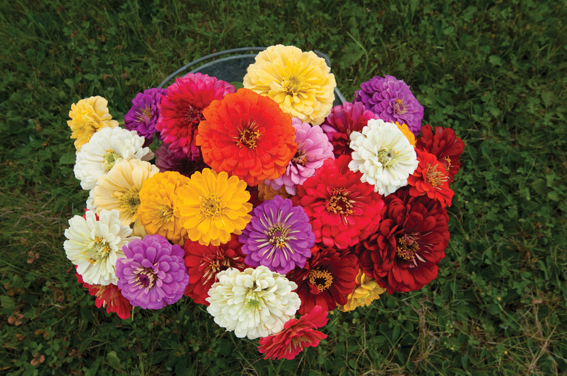 Giant dahlia flowered mix zinnia seed johnnys selected seeds view full size image izmirmasajfo