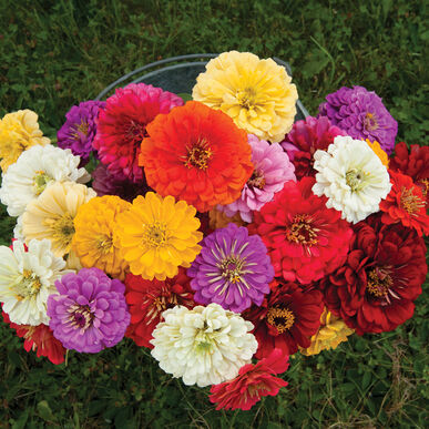 Giant Dahlia Flowered Mix - Zinnia Seed | Johnny's Selected Seeds on