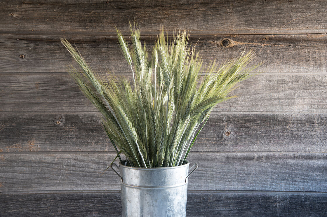 Silver tip ornamental grass seed johnny 39 s selected seeds for Ornamental grass that looks like wheat