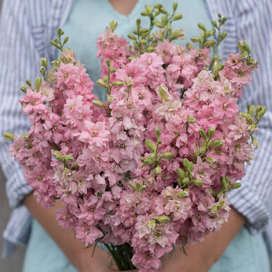 qis light pink larkspur seed johnny s selected seeds