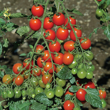 Apero Cherry Tomatoes