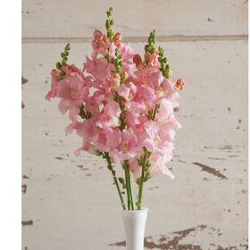 Chantilly Light Pink