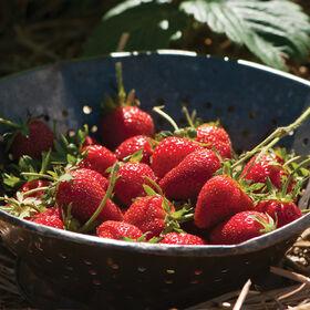 Elan草莓种子