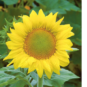 Zebulon Tall, Single Stem Sunflowers