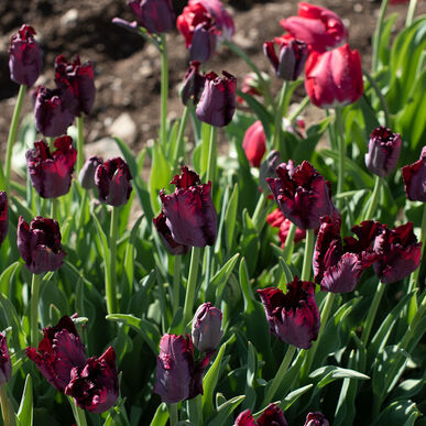 Black Parrot Tulips