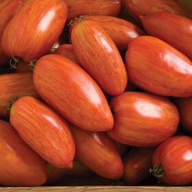 斑点罗马酱西红柿