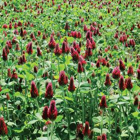 深红三叶草