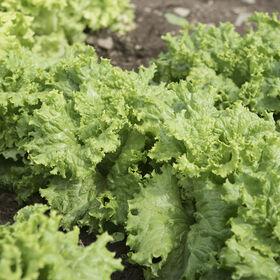 Waldmann's Dark Green Heritage Lettuce