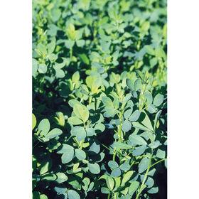 Summer Alfalfa