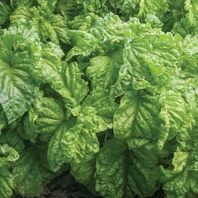 Tuscany Lettuce Leaf Basil
