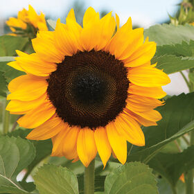 ProCut Orange Tall, Single Stem Sunflowers