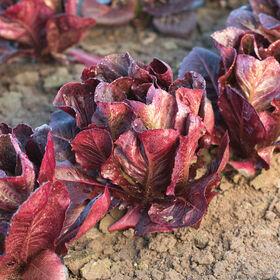Ezbruke Romaine Lettuce (Cos)