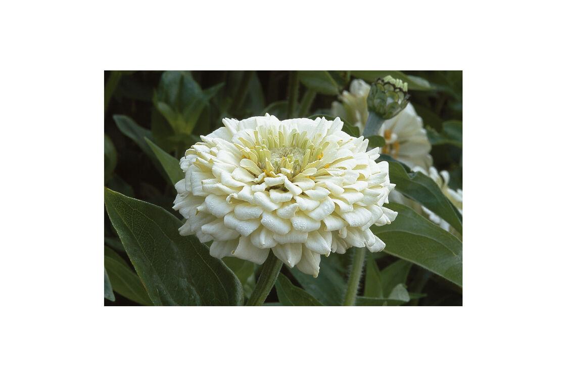Benarys Giant White Zinnia Seed Johnnys Selected Seeds