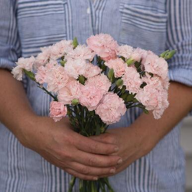 Chabaud La France Dianthus (Sweet William)