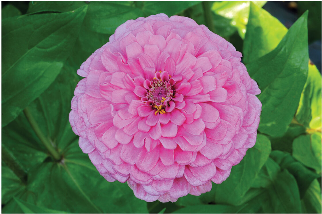 Giant Dahlia Flowered Bright Pink Zinnia Johnnys Selected Seeds