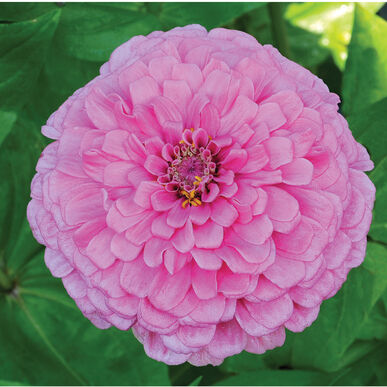 Giant Dahlia Flowered Bright Pink Tall Zinnias