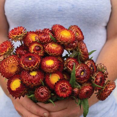 Copper Red Strawflower