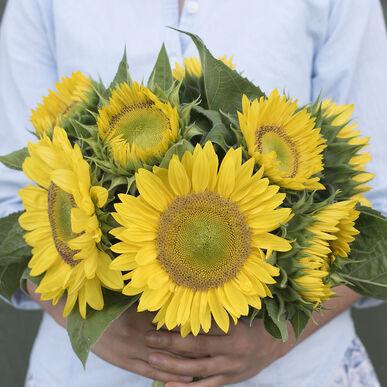 Sunrich Lime Tall Sunflowers
