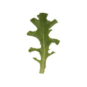 清水橡树叶生菜