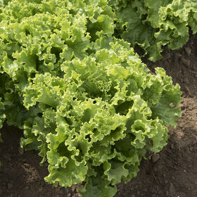 Green Star Lettuce