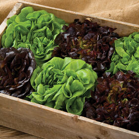 Salanova® Home Garden Mix Salanova® Lettuce