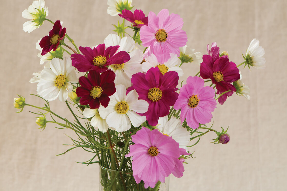 Versailles mix cosmos seed johnnys selected seeds view full size image izmirmasajfo
