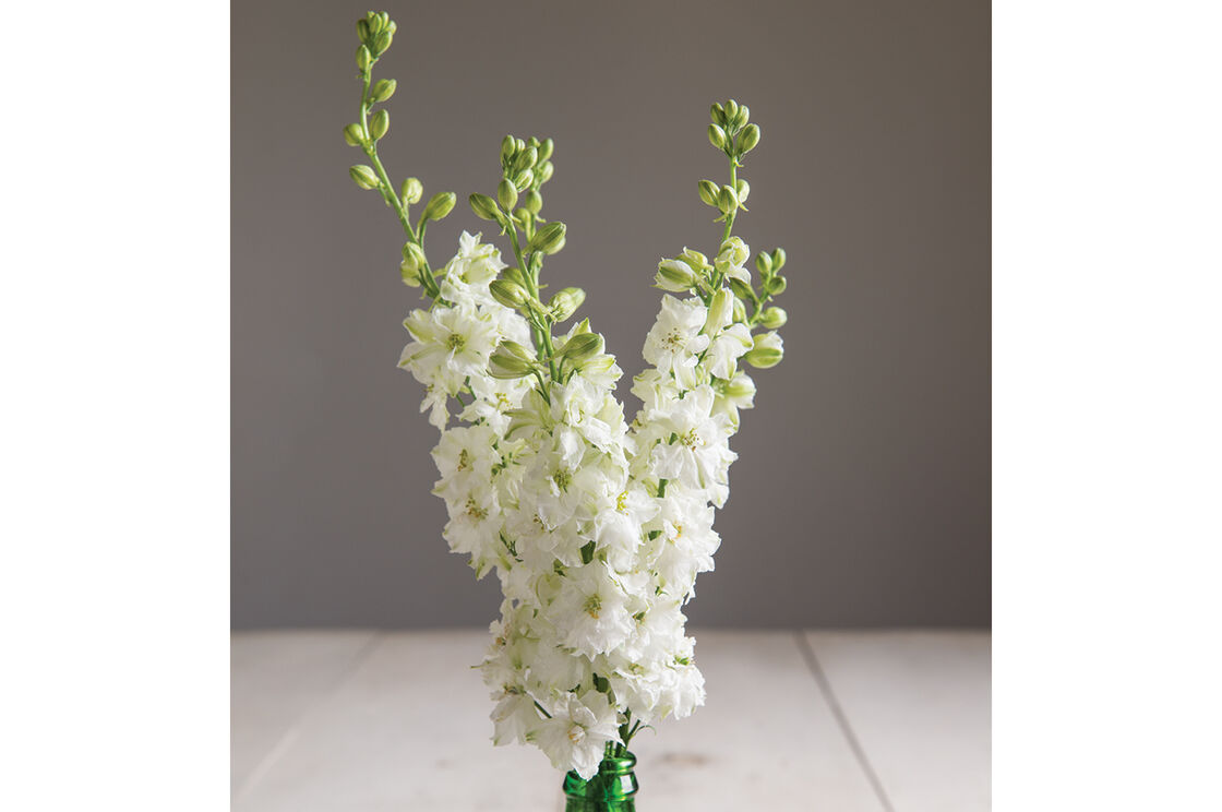 Sublime White Larkspur Seed Johnnys Selected Seeds