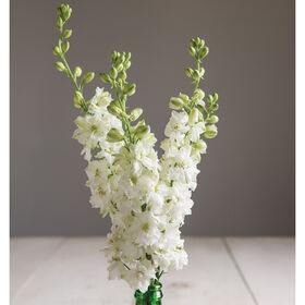 崇高的白色燕草属植物