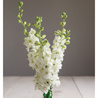Sublime white larkspur seed johnnys selected seeds sublime white larkspur mightylinksfo