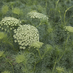 Green Mist Ammi (False Queen Anne's Lace)