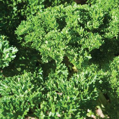 Moss Curled II Leaf Parsley