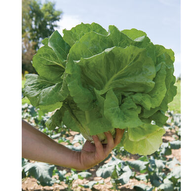 Holon Romaine Lettuce (Cos)