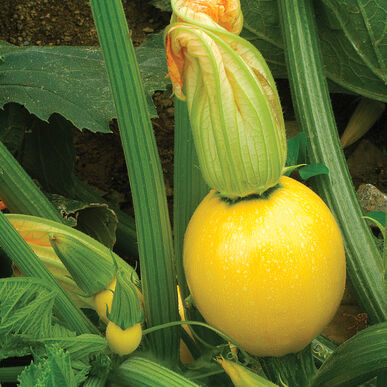 Floridor - (F1) Squash Seed | Johnny's Selected Seeds