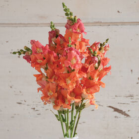 Chantilly Bronze Snapdragon