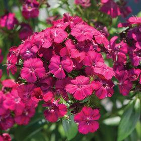 亚马逊霓虹灯樱桃Dianthus(甜威廉)