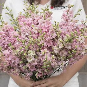 加利利粉红色完美燕草属植物
