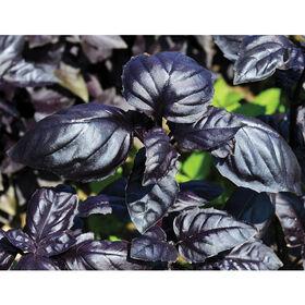 Amethyst Improved Purple Basil