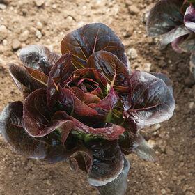 Truchas Romaine Lettuce (Cos)