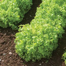 绿色Saladbowl橡树叶生菜