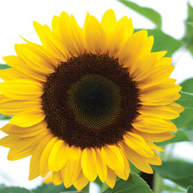 Sunrich Orange Tall, Single Stem Sunflowers