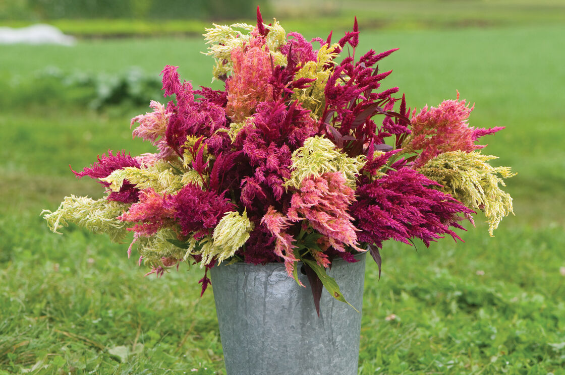 Pampas Plume Celosia Seed Johnnys Selected Seeds