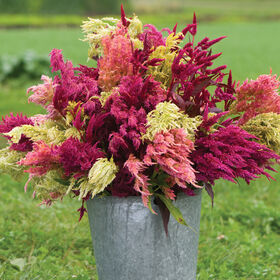 celosia seeds organic varieties johnny 39 s selected seeds. Black Bedroom Furniture Sets. Home Design Ideas