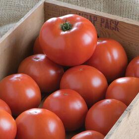BHN 1021 Beefsteak Tomatoes