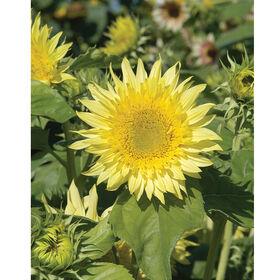 Starburst™ Lemon Aura Tall, Branching Sunflowers