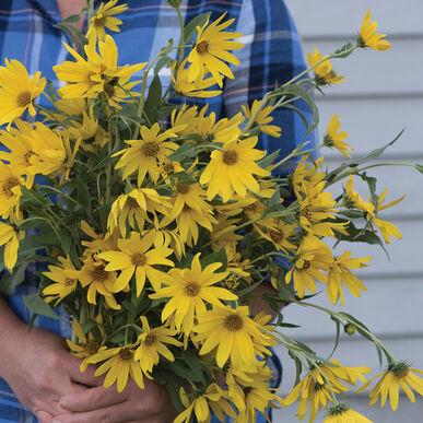Maximilian Maximilian (Perennial Sunflower)