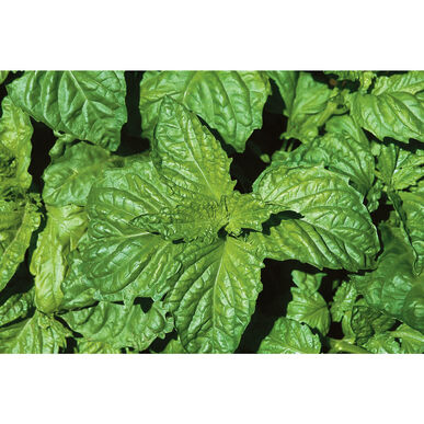 Napoletano Lettuce Leaf Basil