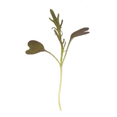 Mustard, Ruby Streaks Microgreen Vegetables