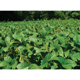Soybeans (Viking 2265)