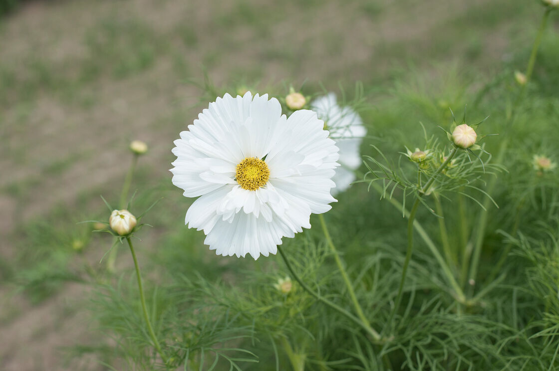 Fizzy white cosmos seed johnnys selected seeds fizzy white cosmos mightylinksfo